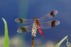 Bandheidelibel mannetje - Geleedpotigen - Bandheidelibelle