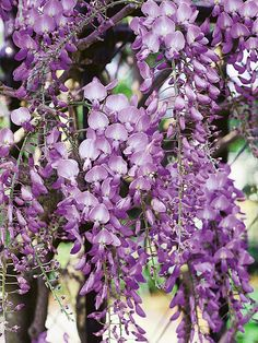 """Wisteria Sinensis Wisteria sinensis is a twining deciduous vine with large, drooping racemes of purple blue, fragrant flowers. North American wisteria is """"tamer"""" and easier to control--less pruning?"""