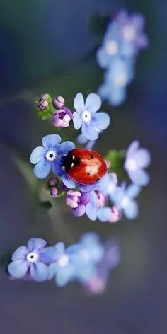 Love the dreamy blue of forget me knot strands and the deep red of the lady bird astride it. Love the dreamy blue of forget me knot strands and the deep red of the lady bird astride it. Beautiful Bugs, Amazing Nature, Beautiful Flowers, Beautiful Things, Beautiful Creatures, Animals Beautiful, Cute Animals, Tier Fotos, Jolie Photo