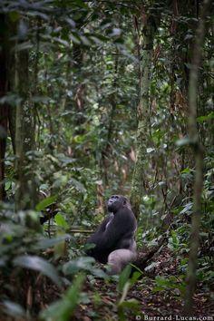A Western Lowland Gorilla in his beautiful rainforest habitat, Odzala, Republic of Congo Congo Rainforest, Rainforest Habitat, Wildlife Photography, Animal Photography, Gorillas In The Mist, Western Lowland Gorilla, Silverback Gorilla, Mountain Gorilla, Photo To Art
