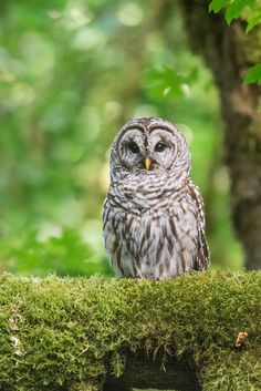 Barred Owl (Strix varia) by Walker Noe Via... - Feather of the Owl