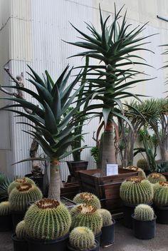 Aloe barberae x dichotoma 'Hercules' and Echinocactus grusonii 'Golden Barrel Cactus'