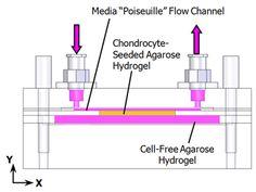 poiseuille flow bioreactor