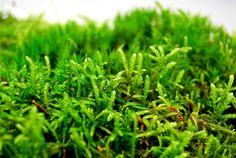 Live moss, sheet of mixed moss,  for terrarium, vivarium, miniature gardens or craft projects. terra