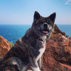 I'm happy to hike  #sea #riviera #hike #rando #puppy #naokoakitainu #dog #paws #chien #pawsfriend #akitainu #akita #akitainudogs #akitainudog #akitainucute #japaneseakitainu #akitadogs #akitasofinstagram #akitapuppy #akitaworld #akitalovers #akitalife #akitapics  #akita_inu #animal #animals #dogs #cute #doglover #akitacutepuppy #dog_features Akita Puppies, Cute Puppies, Japanese Akita, Naoko, Stay At Home, I'm Happy, Dog Paws, Inu, Brave