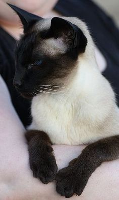 What a beautiful cat!!! I love Siamese cats! And all cats of course!
