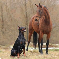 Pinterest doberman | BFFs | Doberman Gang. Two of the most amazing animals.