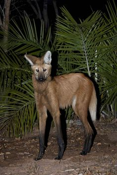 The maned wolf is the tallest wild canid and is quite agile on its four spindly legs. They inhabit open forests and savannas of central South America.