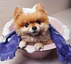 Small Fluffy Dog Breeds |The Pomeranian