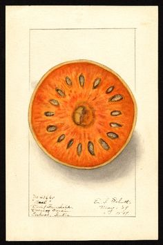 Artist:     Schutt, Ellen Isham, 1873-1955  Scientific name:     Aegle marmelos  Common name:     bael  Geographic origin:     Dalsingh Sarai, Bihar, India  Physical description:     1 art original : col. ; 16 x 25 cm.  NAL note:     Changed Dalsing Serai to Dalsingh Sarai; changed Tirhoot to Bihar  Specimen:     43660a  Year:     1909  Notes on original:     Indian bael  Date created:     1909-05-15