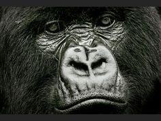 http://www.geo.fr/var/geo/storage/images/photos/vos-reportages-photo/rwanda-parc-national-des-volcans-gorilles-de-montagne/volcan-karisimbi-regard/553159-3-fre-FR/un-regard_940x705.jpg