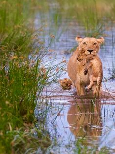 Did you spot the lion cub swimming in the back? 📸 Amazing picture by Connie Bowen ✥ ✥ 🦁 Follo Animals And Pets, Baby Animals, Funny Animals, Cute Animals, Big Cats, Cats And Kittens, Cute Cats, Beautiful Cats, Animals Beautiful