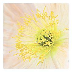 delicate peach poppy, bright yellow center