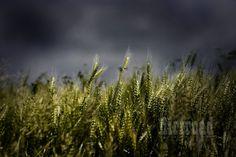 Kansas wheatfields! Shhhh...listen!