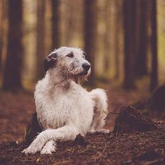 Sheelagh the Irish Wolfhound.  #WeeklyFluff-----Looks like my darling Seamus (in the rain) who passed away 20 years ago at age six of congestive heart failure.  Would love to get another one but could not take the heartbreak.