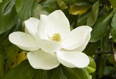 Magnolia tree care largely depends on the environment in which you are planting the tree. If it is less hospitable for the tree, then you have to put a little extra efforts. This Gardenerdy article elaborates on how to take care of magnolia trees. Flor Magnolia, Magnolia Trees, Magnolia Flower, White Magnolia Tree, Magnolia House, Gardenias, Little Gem Magnolia Tree, White Flowers, Beautiful Flowers