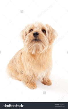 stock-photo-norfolk-terrier-dog-isolated-on-a-white-background-73204942.jpg (1000×1600)