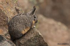 Vizcacha Chinchillas, Mountain, Rock, Animals, Animales, Animaux, Chinchilla, Locks, Rock Music