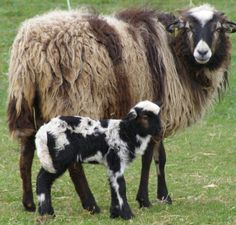 cool Bio Produkte vom Krainer Steinschaf Musk Ox, Sheep Breeds, Cattle Farming, Cute Memes, Black Sheep, Cute Drawings, Mammals, Baby Animals, Goats