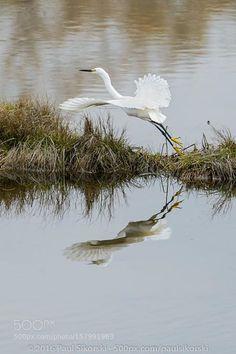 Snowy Egret Lift-off