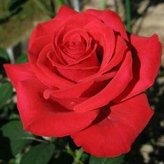 Red Rosé.