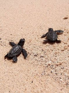 Cute baby turtles on the beach of Boa Vista, heading for the sea - Cape Verde #kaapverdie