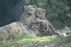 Snow leopard cubs at the Assiniboine Park Zoo. Leopard Kitten, Snow Leopard, Urban Park, Nature Wallpaper, Big Cats, Animal Kingdom, Tigers, Cubs, Animal Pictures