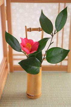 Japanese tsubaki (Camellia)