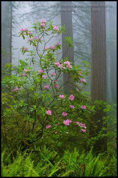 Photo: Wild Rhododendron flowers in bloom, Redwood trees, and fog in forest, Redwood National Park, California