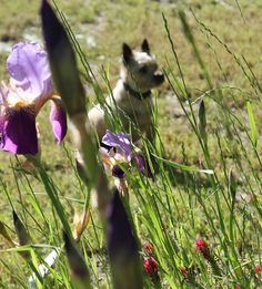 TALLY- 3 year old Cairn Terrier.  May walk in the woods by weaverbl, via Flickr