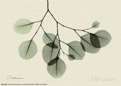 Sage Eucalyptus Leaves II Schilderijen van Albert Koetsier bij AllPosters.nl -18x13 cm