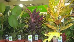 Learn what causes a croton plant to drop its leaves and how to fix it. Top croton plant care tips to keep your Codiaeum variegatum looking stunning. Croton Plant Care, Myrtle Tree, Smart Garden, Garden Guide, Plant Needs, Potting Soil, Shade Plants, Leaf Shapes, Houseplants