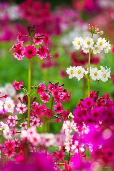 Pink & White Japanese Primrose