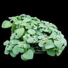 150pcs Crassula Nemorosa Seeds Garden Succulent Plants Potting