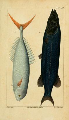 Antoine Risso | Histoire naturelle des principales productions de l'Europe méridionale et particulièrement de celles des environs de Nice et des Alpes Maritimes (1826)