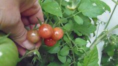 Humboldtii Tomaten 10 Samen - Ernte 2014 de.picclick.com