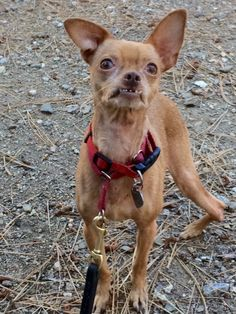 Meet Bugsy, an adopted Terrier & Chihuahua Mix Dog, from APe Action (Animals People & Environment Action) in West Hollywood, CA on Petfinder. Learn more about Bugsy today. Rescue Puppies, Chihuahua Mix, French Bulldog, Terrier, Adoption, Dogs, Animals, Animales, Animaux