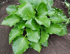 Hosta Invincible, great shine