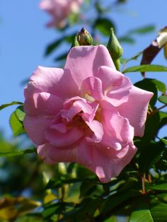 Polyantha Climbing Rose: Rosa 'Pinkie, Cl' (discovered in U.S., c.1952)