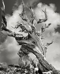 Bristlecone pine in California