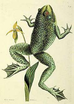 frog print by john james audubon