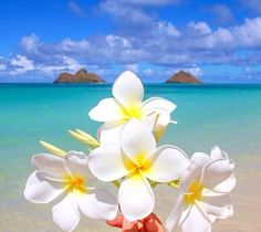 Flowers in paradise discovered by Hippy on We Heart It Exotic Flowers, Tropical Flowers, Love Flowers, Beautiful Flowers, Beach Wallpaper, Flower Wallpaper, Wallpaper Backgrounds, Plumeria Flowers, Hawaiian Flowers