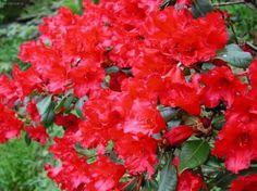рододендрон (rhododendron simsii)