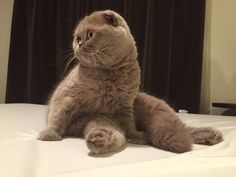 Scottish Fold named Rosie now has an Instagram account @meecheebomb