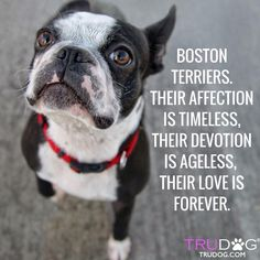 Some of the things we all admire about the Playfull Boston Terrier Puppy Boston Bull Terrier, Boston Terrior, Terrier Breeds, Terrier Puppies, Bulldog Puppies, Terriers, Anatole France, Family Dogs, Dog Mom