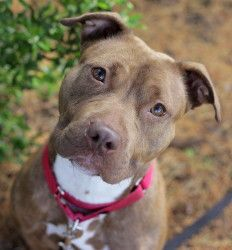 Scarlett (Lively, Fun-Loving Girl) is an adoptable Chocolate Labrador Retriever Dog in Jersey City, NJ. Woof, woof! Hi! It's no nice to meet you! My name is Scarlett, and I am a one year old chocolate lab/amstaff mix.