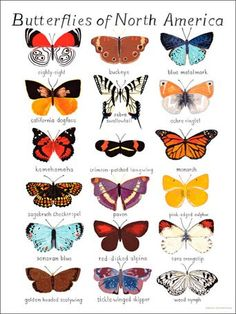 """Butterflies of North America"" children's fabric wall decals by Small Adventure for Oopsy Daisy, Fine Art for Kids $20"