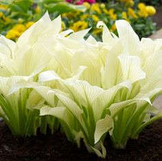 White Feathers Hosta. Beautiful but I don't think I have enough shade. Darn!