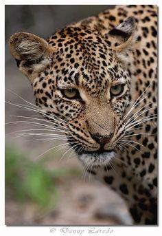 Leopard/Mexican Jaguar