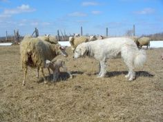 Kuvasz like this one were originally bred in Hungary to protect livestock against bears and wolves.